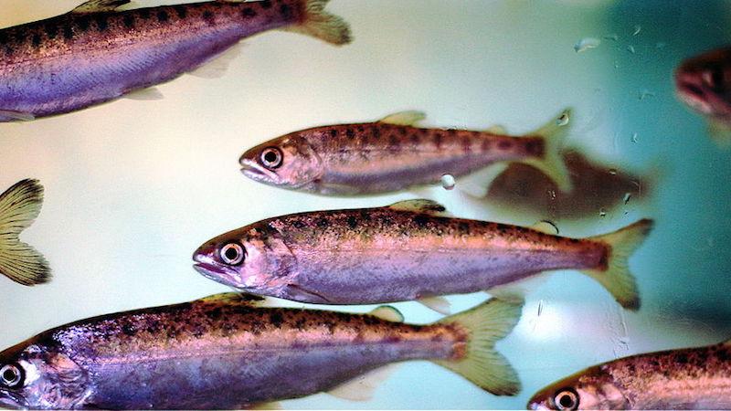Coho salmon smolts